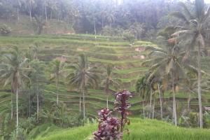Rice terraces Bali Tour Guide