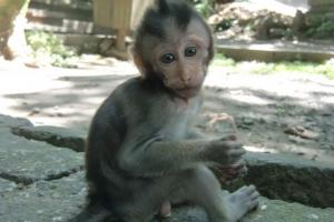 Bali monkey sweet
