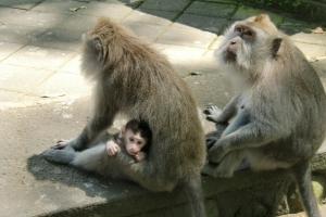 Monkeys Bali