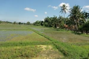 Bali rice picture