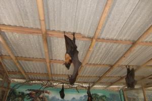 Bali big bat