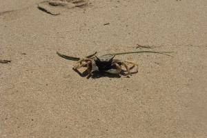 Small crab Bali beach