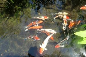 Koy pond Bali hotel
