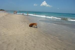 Bali dog on beach